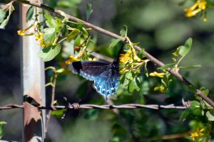 pipevine-swallowtail_022810b