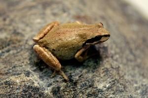 Female Pacific Treefrog, <em>Pseudacris hypochondriaca</em>, from the 'new' BFS toad pond.