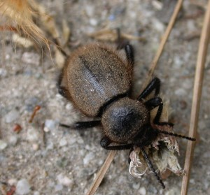 <em>Eleodes osculans</em>, Wooly Darkling Beetle, in Webb Canyon.  Photo by Harsi Parker.