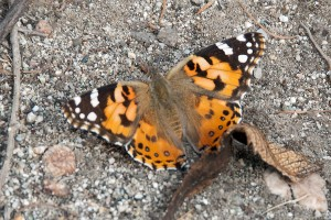 A Painted Lady, Vanessa cardui, in the trail on the north side of pHake Lake. Nancy Hamlett.
