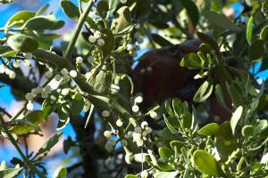 Leaves and berries of Big Leaf Mistletoe (Phoradendron serotinum ssp. macrophyllum). Nancy Hamlett.