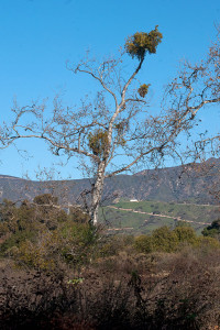 Clumps of Big Leaf Mistletoe (Phoradendron serotinum ssp. macrophyllum) in a Western Sycamore (Platanus racemosa) at the BFS. Nancy Hamlett.