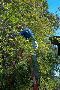 Prof. Dick Haskell (HMC) trims trees away from the classroom roof. Nancy Hamlett,