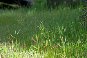 Brassica tournefortti growing amongst the grasses just inside the pedestrian gate. Nancy Hamlett.