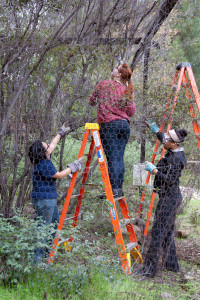 Maria Morabe (HMC '13), Amy Long (Citrus College), and Kourtney Williams (Citrus College) trim branches of a Laurel Sumac that were entangled in the chicken wire. Nancy Hamlett.