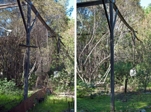 Old chicken wire and metal flashing were removed from the flight cage. Left: before, right: After. Nancy Hamlett.