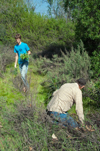 Tim Cox roots out thistles under shrubs while Bryan Visser (HMC '13) carries thistles to the discard.  Nancy Hamlett.