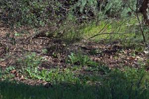 Before (left): Italian thistles springing up under an oak tree. Nancy Hamlett.