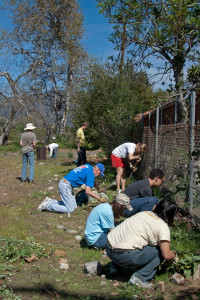 Volunteers near the end of their work for the day. Left to right:  pulling Italian Thistles. Nancy Hamlett.