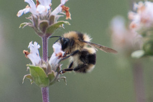 A Black-tailed Bumble Bee, Bombus melanopygus, on Black Sage (Salvia mellifera). Nancy Hamlett.