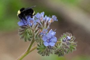 A Yellow-faced Bumble Bee, Bombus vosnesenskii, on Phacelia distans. Nancy Hamlett.