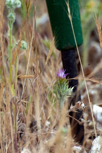 A tiny Italian Thistle (Carduus pycnocephalus) growing among brome and Cryptantha. The bottom end of a weed digger provides scale. Nancy Hamlett.