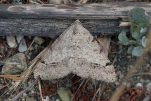 Digrammia sp., possibly Digrammia californiaria. Nancy Hamlett.