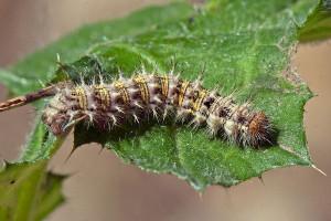A Painted Lady (Vanessa cardui) caterpillar on an Italian Thistle leaf. Nancy Hamlett.