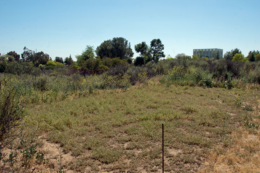 The solarized area growing Red-stem Filaree, bordered by mustard, Italian Thistles, and grass. Nancy Hamlett.