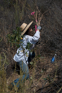 Volunteer Carol Cox pulls star thistles from the south berm of the 'new toad pond'. Nancy Hamlett.
