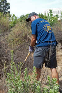 Dave Willbers (Citrus College) digs up some Italian Thistles we found on the 'old' toad pond mound. Nancy Hamlett.