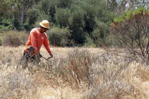 A worker from Johnny's Tree Service knocking down star thistles in the grassy area west of the entry drive. Nancy Hamlett.