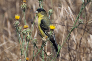 A Lesser Golfinch on a Maltese Star Thistle. Nancy Hamlett,