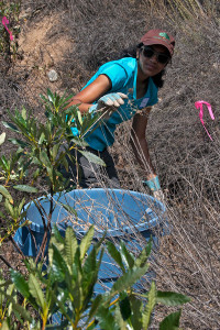 Thendral Govindaraj (HMC '16) pulling star thistles from the south berm of the 'new toad pond'. Nancy Hamlett.