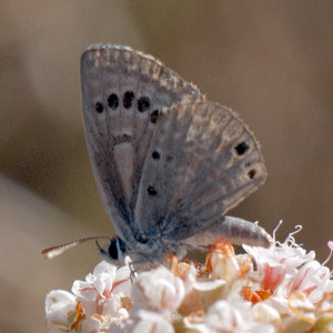 Reakirt's Blue (Echinargus isola) on California Buckwheat (Eriogonum fasciculatum var. foliolosum). Nancy Hamlett.