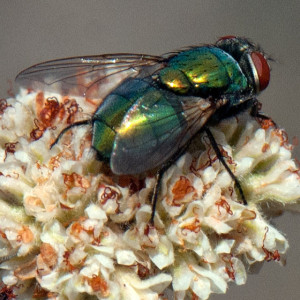 A blow fly, Lucilia sp. on California Buckwheat (Eriogonum fasciculatum var. foliolosum). Nancy Hamlett.