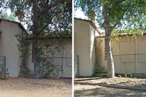 Front of the infirmary. Left: before. Right: After, with plants against building removed, tree trimmed up, and leaves raked. Nancy Hamlett.