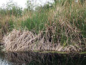 Cattails at pHake Lake. Susan Schenk.