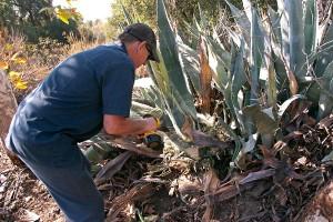 Tim Cox drills holes in Century Plants.