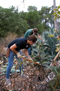 Victoria Porras (Mt. Sac) and Brandon Peterson (Mt. Sac) dig up Century Plant 'pups'.