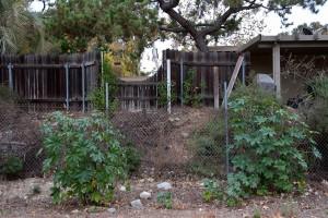 Castor Bean (Ricinus communis) growing next to the fence.