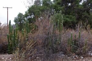 Cereus sp. cactus growing next to the road.