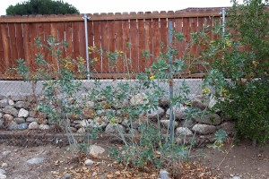 Tree Tobacco (Nicotiana glauca) growing next to the fence.
