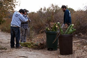 Volunteers chop up Cereus cactus and put it in cans for discard.