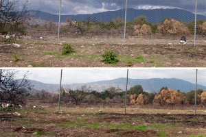 Top: Emerging Trees-of-Heaven in the Foothill Blvd parkway. Bottom: Trees-of-Heaven removed.