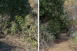 A portion of the lake trail before (left) and after (right) clearing.
