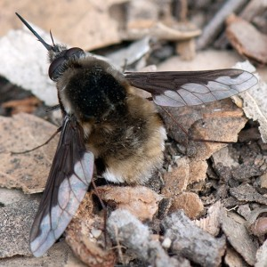 A Greater Bee Fly, Bombylius major, on a sandy fire road in the 'Neck'. Nancy Hamlett.