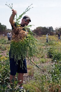 Dave Willber (Citrus College) with a giant uprooted Maltese Star Thistle. Nancy Hamlett.