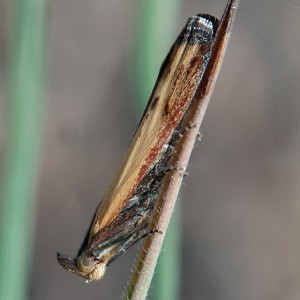 A Lesser Cornstalk Borer, Elasmopalpus lignosellus, on brome in the recently burned portion of the East Field. Nancy Hamlett.