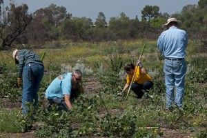 Marcie Gaebler (HMC), BFS Director Marty Meyer, Christina Cabral (Citrus College) and Mike Tschudi remove weeds from an experimental plot. Nancy Hamlett.