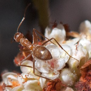 A honeypot ant, Myrmecocystus wheeleri, on California Buckwheat (Eriogonum fasciculatum var. foliolosum). Nancy Hamlett.