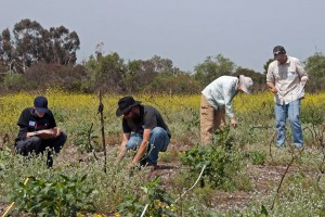 Steven Minkler (Citrus College), BFS Director Marty Meyer, Prof. Diane Thomson (Keck Science Biology), and Richard Rojo identify and record plants in one of the experimental plots. Nancy Hamlett.