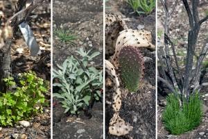 Plants stump-sprouting in the burn area.  Left to right: Coast Live Oak (Quercus agrifolia), White Sage (Salvia apiana), Prickly-Pear (Opuntia littoralis), and California Sagebrush (Artemisia californica). Nancy Hamlett.