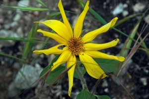 Helianthus annuus. Nancy Hamlett.