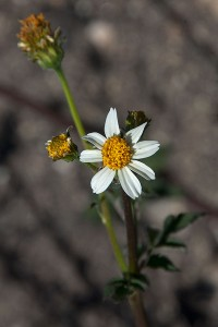 Flower of Common Beggar-Ticks (Bidens pilosa) blooming in the East Field. Nancy Hamlett.