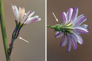"Left: Flowerhead of Stephanomeria virgata ssp. pleurocarpa showing fewer ray flowers (""petals"") and appressed outer phyllaries (arrow). Right: Flowerhead of Stephanomeria virgata ssp. virgata showing more ray flowers (""petals"") and strongly recurved outer phyllaries (arrow).  Nancy Hamlett."