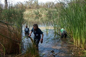Nicky Subler (HMC '16), Tom Kruells (Citrus College), and Marcie Gaebler (HMC '17) clearing cattails and bulrushes in front of the little island. Nancy Hamlett.