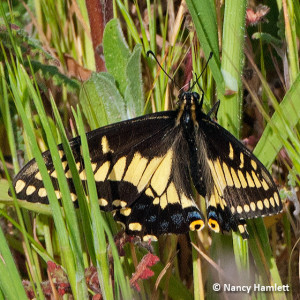 A Desert Black Swallowtail, Papilio polyxenes coloro, in the East Field.  This sighting is only the second time this species has been reported in Los Angeles County. Nancy Hamlett.