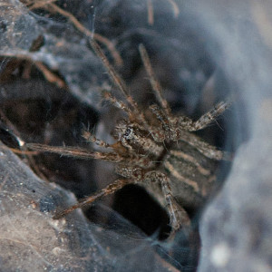 A funnel web spider, Subfamily  Ageleninae, in her funnel web in the East Field burn area. Nancy Hamlett