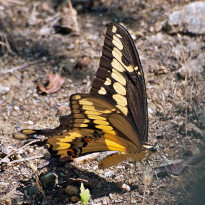 Western Giant Swallowtail (Papilio rumiko) at pHake Lake. Nancy Hamlett.